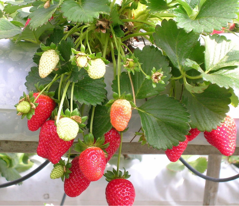 how to keep strawberries fresh for longer