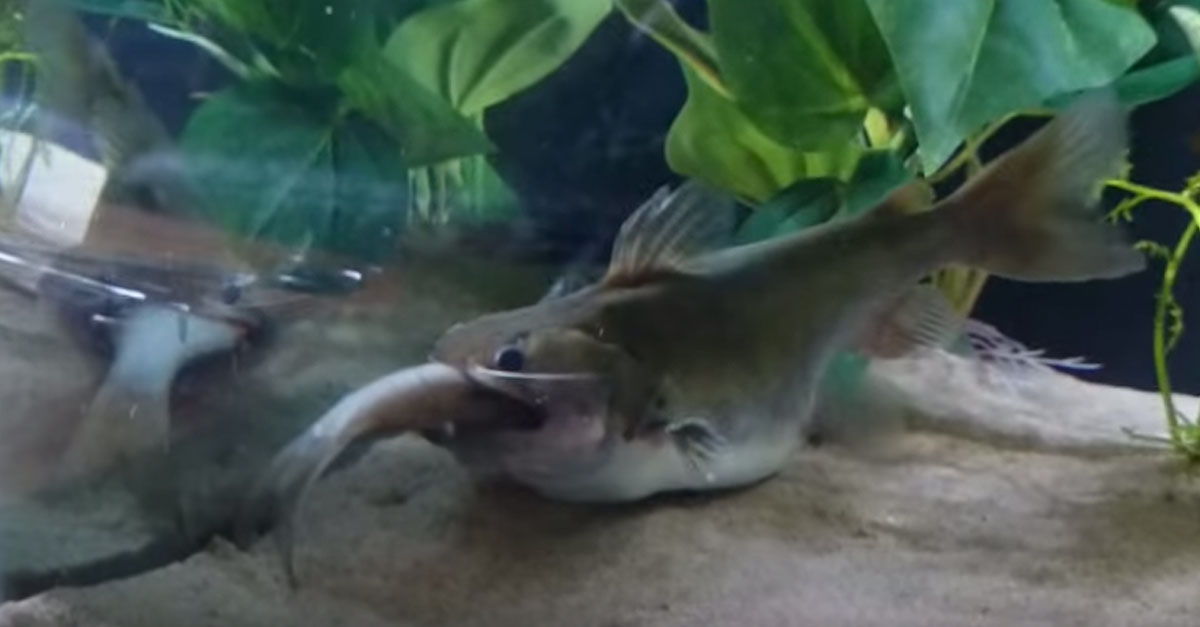 Video of a catfish eating will make you rethink going out for What fish eat