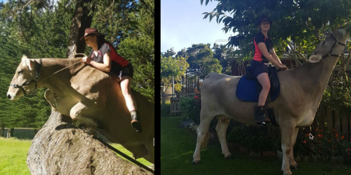 Girl can't afford a horse, trains a cow to jump instead